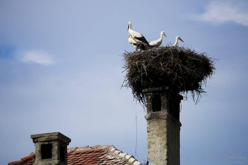 Berzele urmaresc turistii fotografi din Satul Viscri.