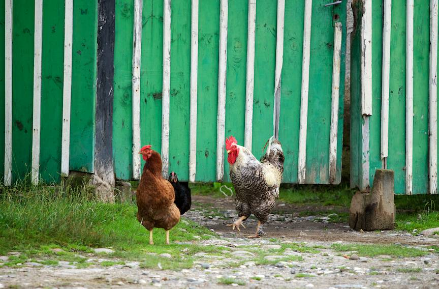 Pe sub poarta verde'n dungi, cocosul sur isi cheama gainile pe strada.