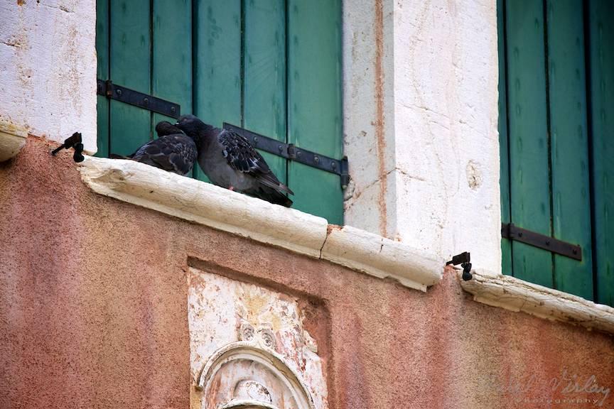 Porumbeii sunt simbolul iubirii: raman impreuna pana la moarte!