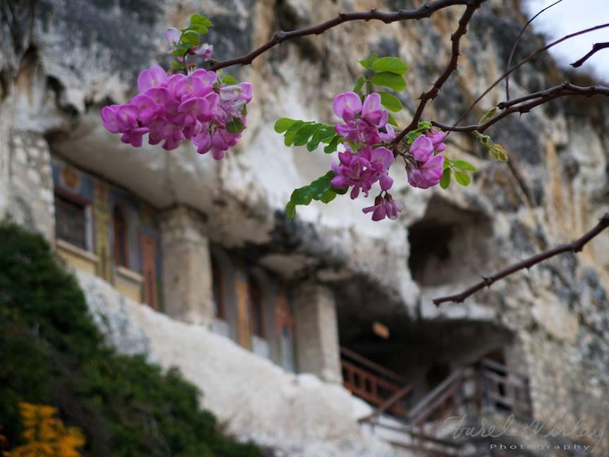 Flori siclam de salcam la intrarea in manastirea Sfantul Dimitar Basarabov.