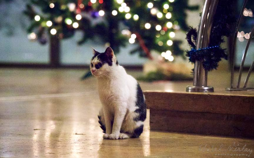 Aparent cea mai cuminte pisica pozeaza la Bradul de Craciun.