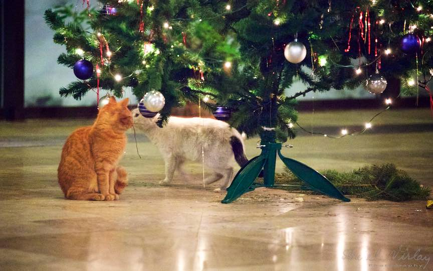Fotografie brad impodobit pisici TVR Bucuresti - fotojurnalist Aurel Virlan - Emails 4