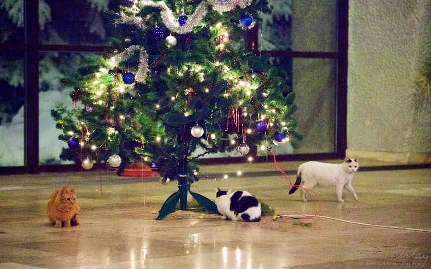 Fotografie brad impodobit pisici TVR Bucuresti - fotojurnalist Aurel Virlan - Emails 6