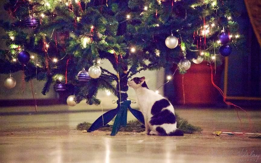 Fotografie brad impodobit pisici TVR Bucuresti - fotojurnalist Aurel Virlan - Emails 8
