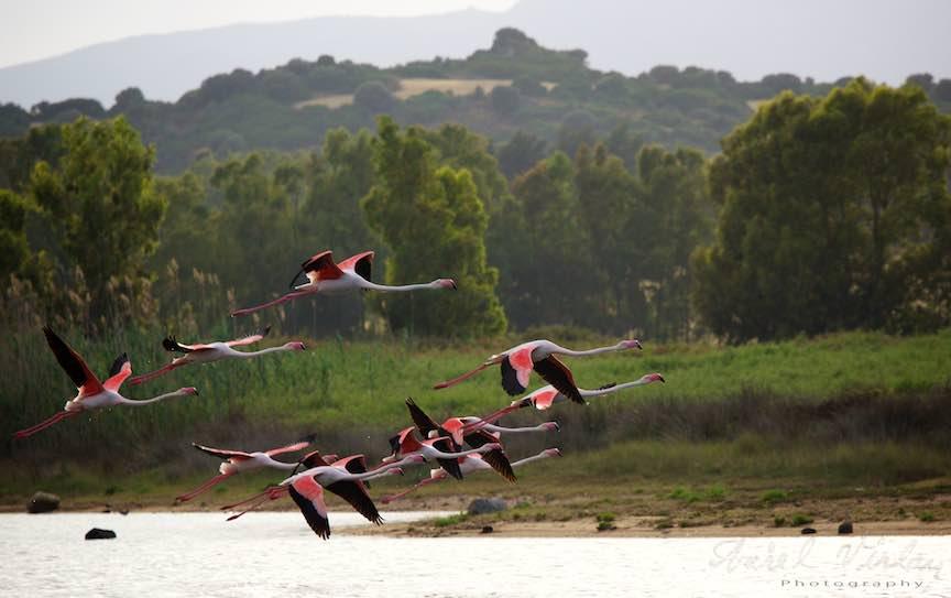 Workshop Fotografie Sardinia Italia Pasari_Flamingo - Foto_Aurel_Virlan Superbele pasari flamingo in zbor planat.