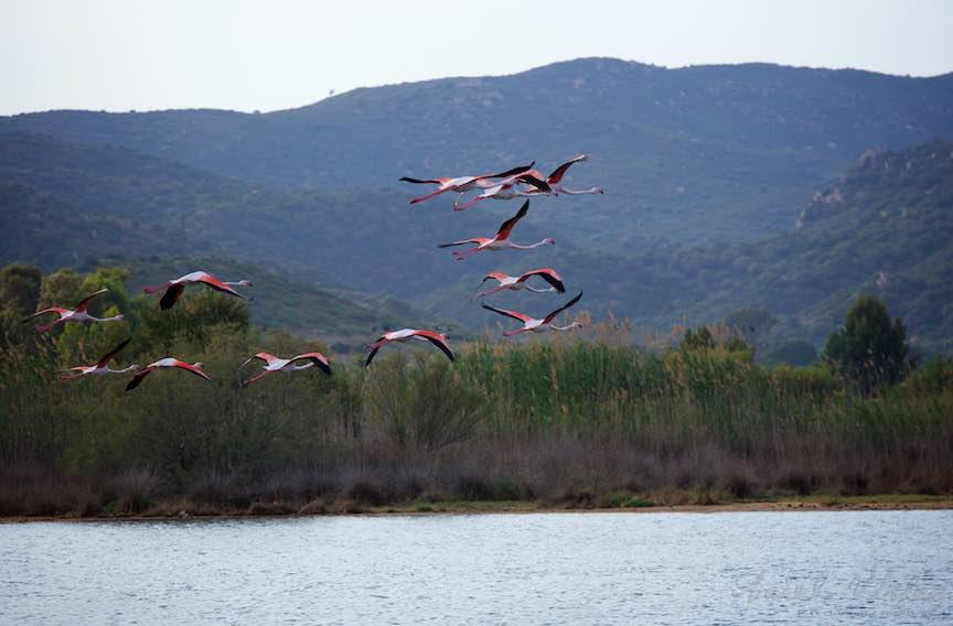 Workshop Fotografie Sardinia Italia Pasari_Flamingo - Foto_Aurel_Virlan Fotografie contre-jour cu pasari flamingo in zbor.