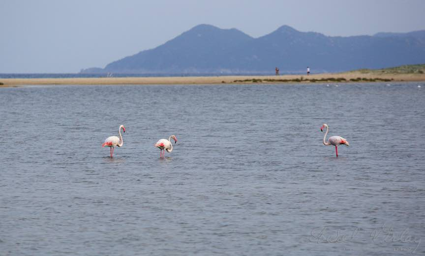 Workshop Fotografie: Pasari Flamingo in Costa Rei - Sardinia.