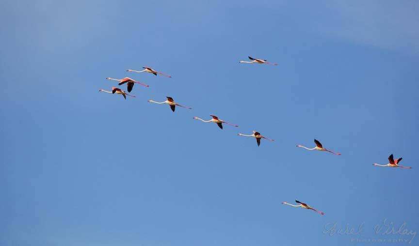 Workshop Fotografie Sardinia Italia Pasari_Flamingo - Foto_Aurel_Virlan Fly Flamingo Fly, up in the Sky!