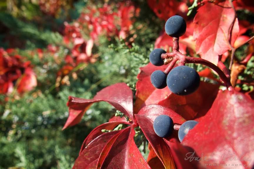 Frunze rosii in Lumina calda a Toamnei. Fructele salbatice se incalzesc in Soare.