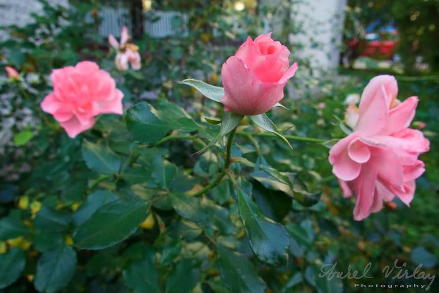 Toamna-Frunze-galbene-ruginii_Autumn-leaves_Foto_AurelVirlan-Emails45