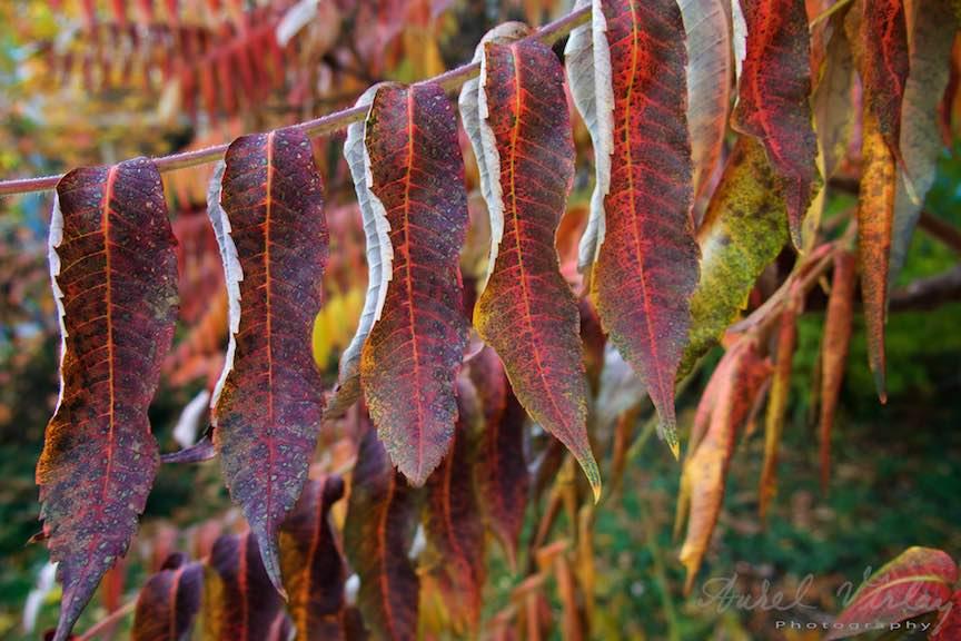 Toamna-Frunze-galbene-ruginii_Autumn-leaves_Foto_AurelVirlan-Emails54