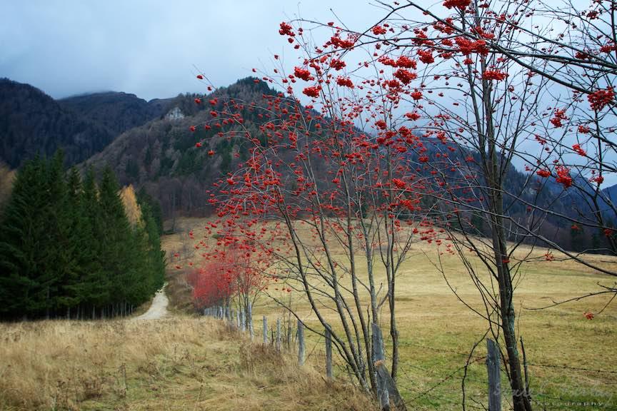 27-Toamna-Padure-Sinaia-luminisul-padurii-stanii-regale-copaci-fructe-rosii-munte-FotoAurelVirlan