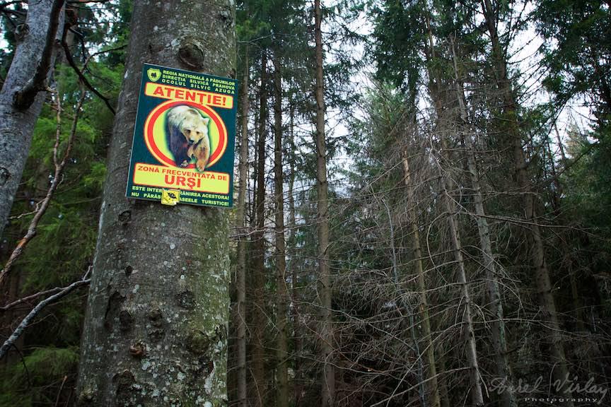 35-Atentie-Ursi-Toamna-Padure-Sinaia-Peles-FotoAurelVirlan-Emails49