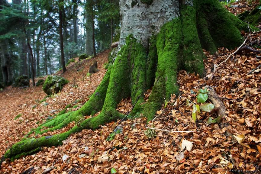 36-Trunchi-copac-muschi-verzi-Toamna-Padure-Sinaia-Peles-FotoAurelVirlan-Emails50