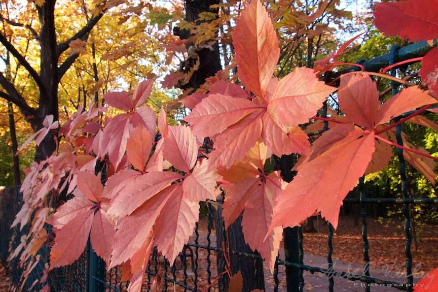 Toamna-cerul-rosu-copacii-galbeni-ruginii_Autumn-leaves_Foto_AurelVirlan-Emails6