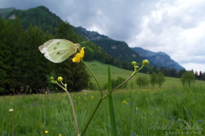 Fluturele alb pe o floare din Poiana Stanii Regale pe fundal de Munti Bucegi.