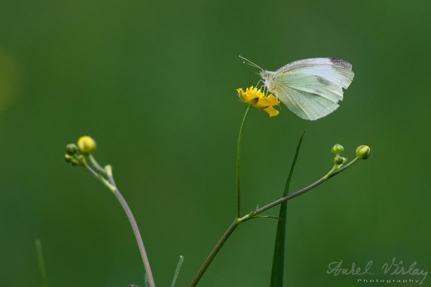 11-Fluture-floare-galbena-Poiana-Stanii-Regale-Focala-lunga-320mm_Fotografie-Aurel-Virlan