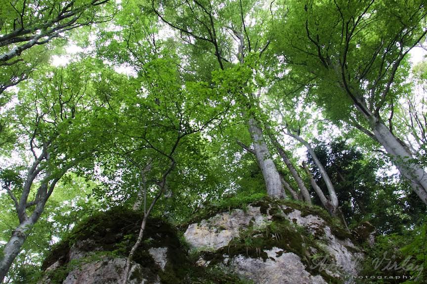 16-copaci-uriasi-stanci-padure-Sinaia_Fotografie-Aurel-Virlan