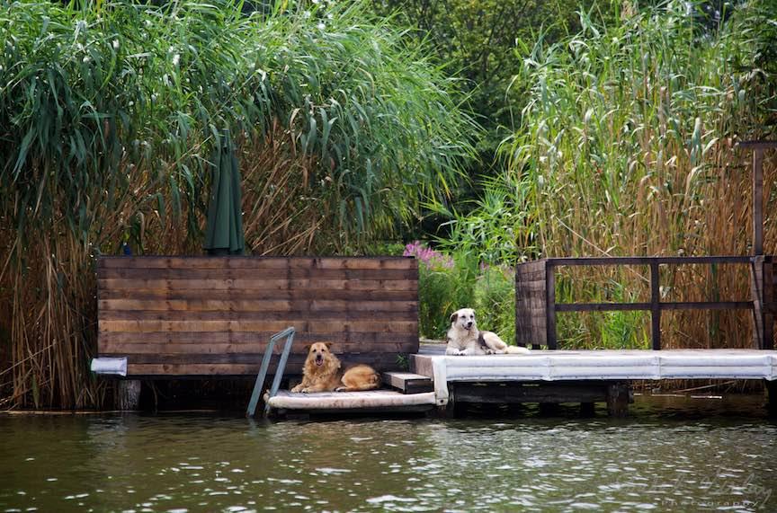 Caini de paza plictisiti pe ponton - Lacul Snagov