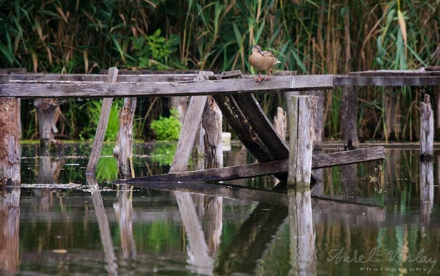 26-rata-Lacul-Snagov_Rata pe barnele de lemn ale unui ponton parasit.Foto-Aurel-Virlan