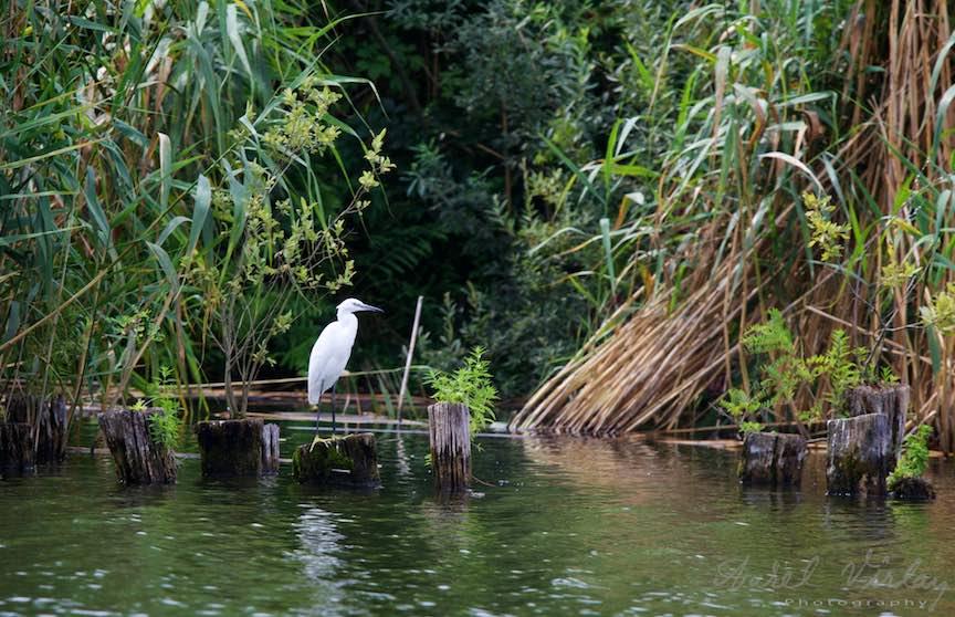 Lacul-Snagov_Foto-Aurel-Virlan Egreta Alba stand pe cioturile de lemn ale unui fost ponton.