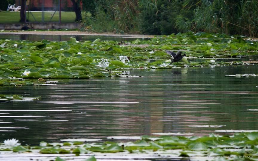 Lacul-Snagov_Foto-Aurel-Virlan- Apa zburand in urma labelor de rata speriata.