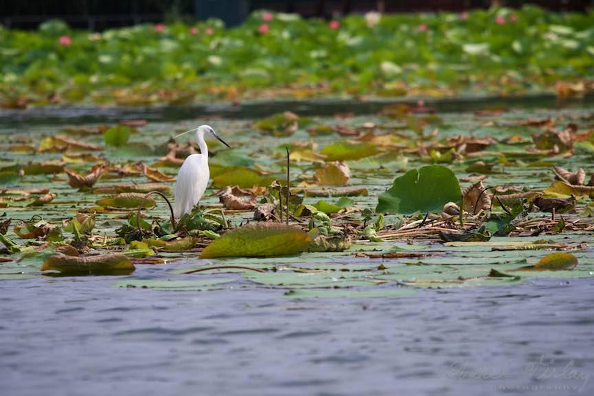 Lacul-Snagov_Foto-Aurel-Virlan - Egreta Alba pe frunzele de Lotus