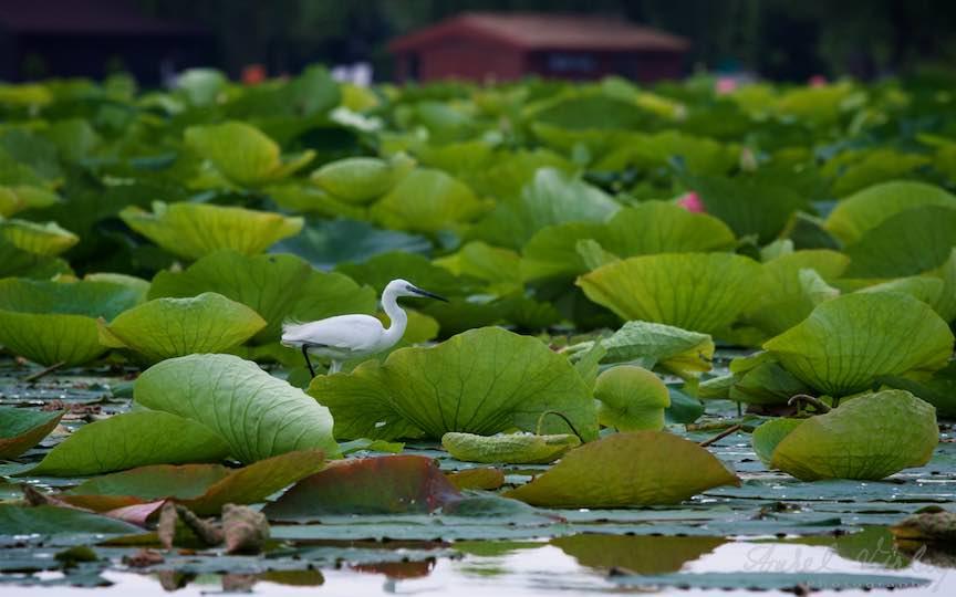 Lacul-Snagov_Foto-Aurel-Virlan- Gratie si frumusete pe Lacul Snagov.