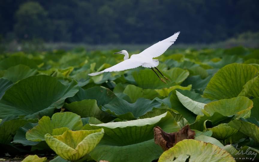 Egreta Alba in zbor pe deasupra unui cuib de Lotusi.