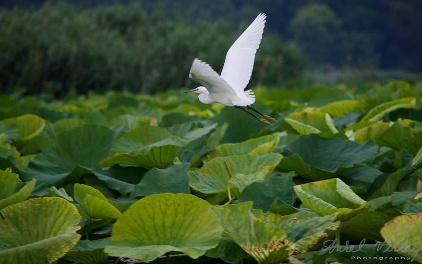 Lacul-Snagov_Foto-Aurel-Virlan- Elegantul zbor in plin avant al Egretei Albe.
