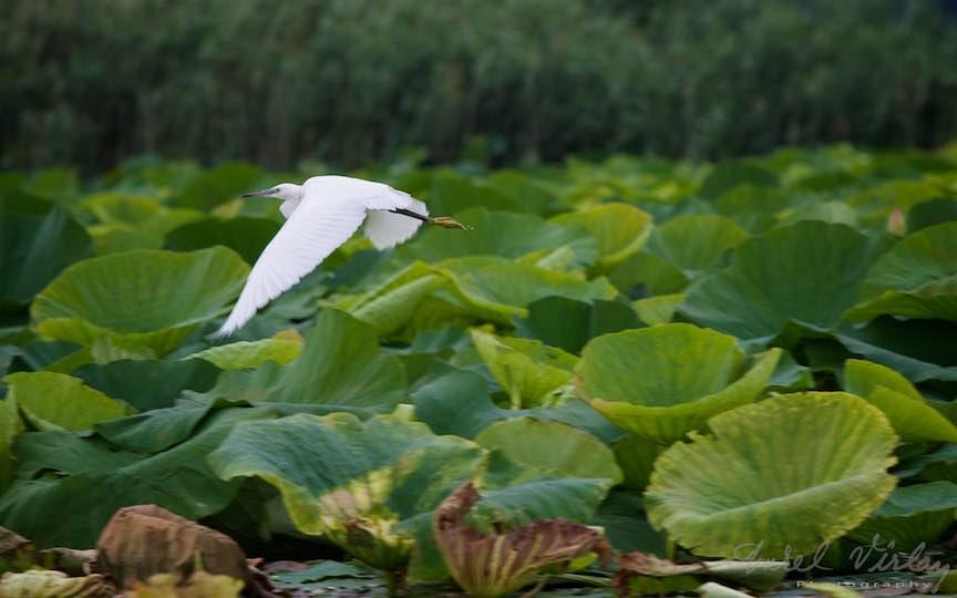 Lacul-Snagov_Foto-Aurel-Virlan- Egreta Alba dand viguros din aripi.