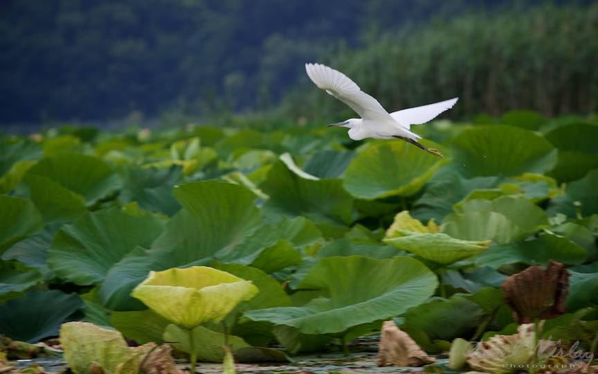 Lacul-Snagov_Foto-Aurel-Virlan- Albul Egretei peste verdele de Lotus.