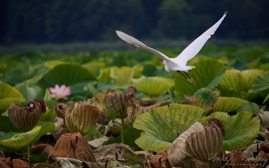 Lacul-Snagov_Foto-Aurel-Virlan- Floare ros de lotus admirand zborul alb al Egretei.