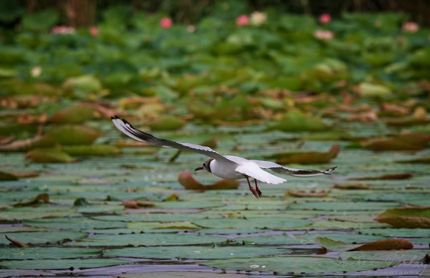 Lacul-Snagov_Foto-Aurel-Virlan- Zborul planat al Pescarusului.
