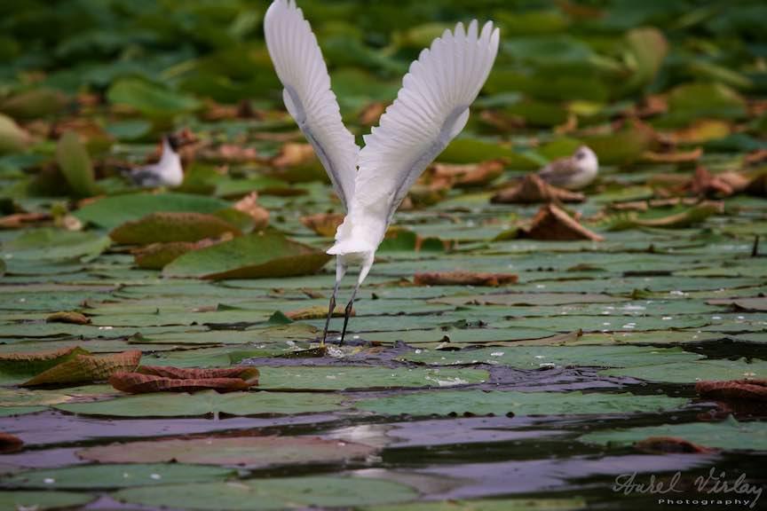 Lacul-Snagov_Foto-Aurel-Virlan- Penajul alb al unei Egrete Albe  in decolare.
