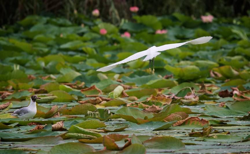 Lacul-Snagov_Foto-Aurel-Virlan- Pescarusul si Egreta Alba stapani peste lotusii Lacului Snagov.