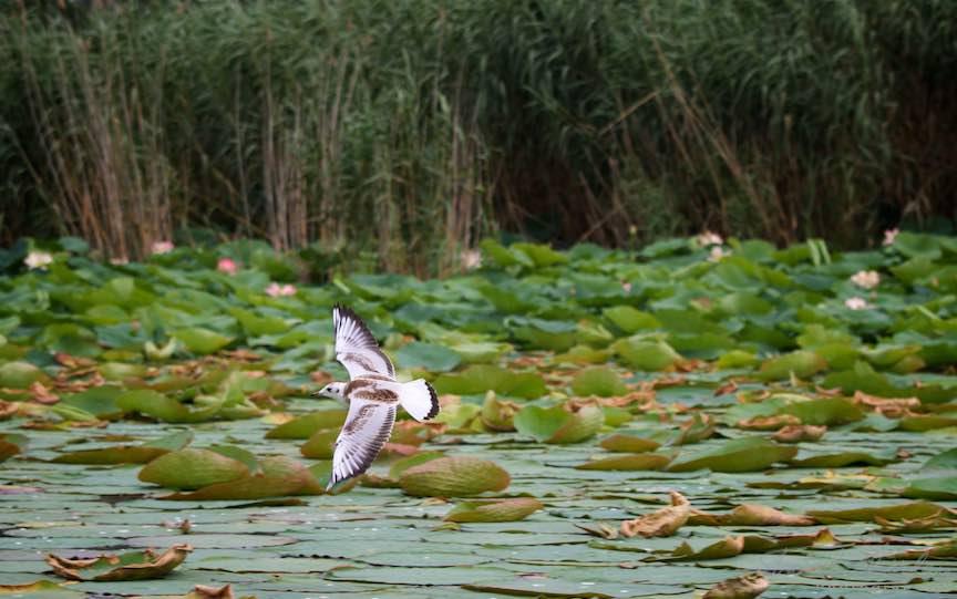 Lacul-Snagov_Foto-Aurel-Virlan- Penajul bicromatic al Pescarusului.