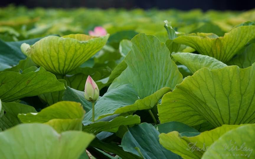 Bobocul unei flori de Lotus printre frunzele uriase!