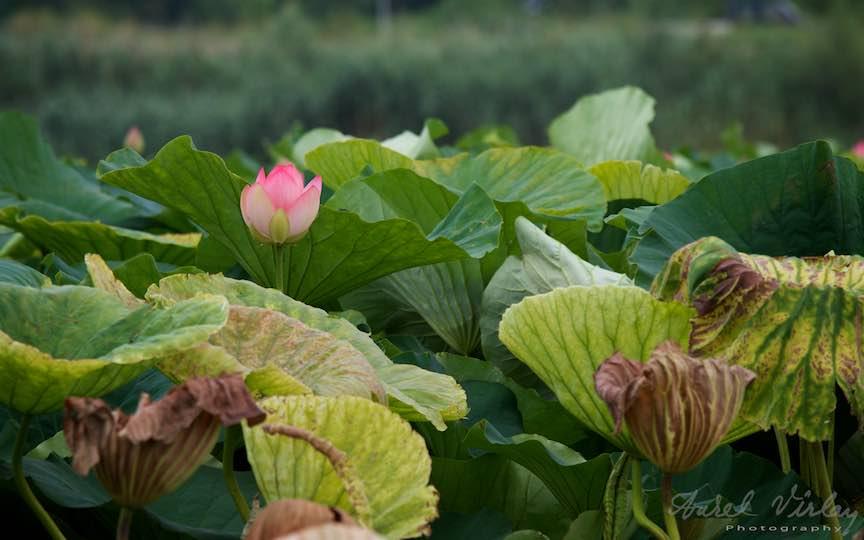 02-floarea-tanara-frunze-imanse-lotus-Lacul-Snagov_Foto-Aurel-Virlan