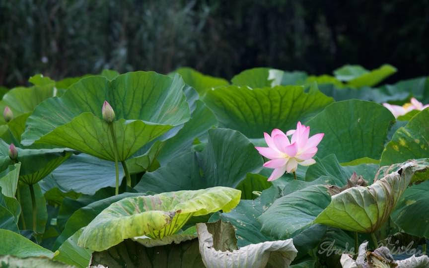 03-floarea-roza-lotus-Lacul-Snagov_Foto-Aurel-Virlan