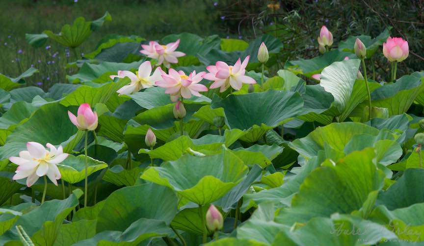 04-florile-lotusi-Lacul-Snagov_Foto-Aurel-Virlan