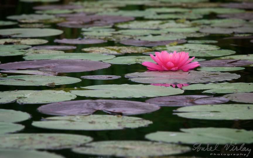 05-floare-ciclam-nufar-Lacul-Snagov_Foto-Aurel-Virlan