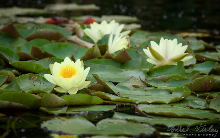 08-florile-de-nufar-galben-Lacul-Snagov_Foto-Aurel-Virlan