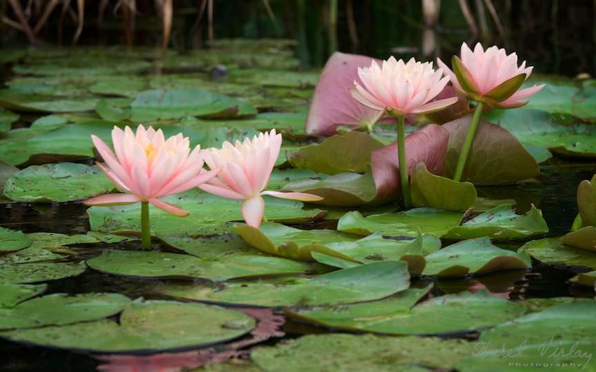 09-florile-de-nufari-Lacul-Snagov_Foto-Aurel-Virlan