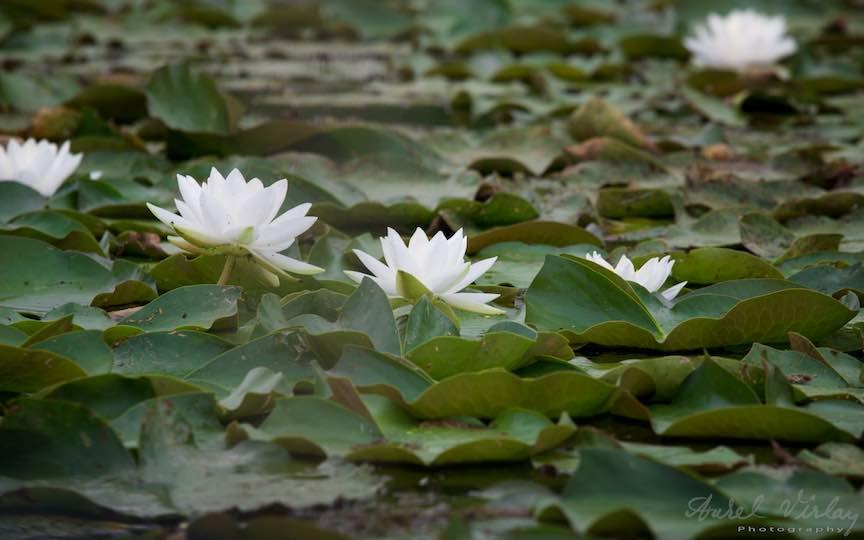 10-florile-de-nufari-albi-Lacul-Snagov_Foto-Aurel-Virlan