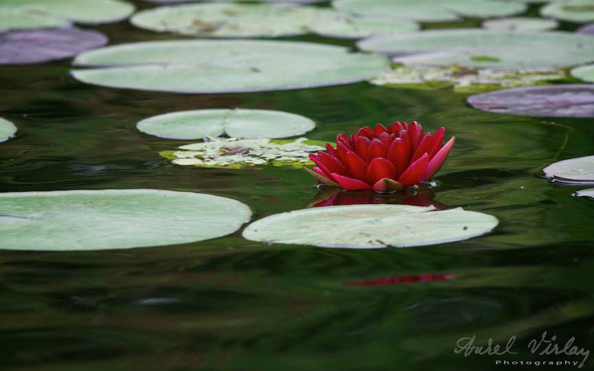 11-floarea-de-nufar-grena-Lacul-Snagov_Foto-Aurel-Virlan