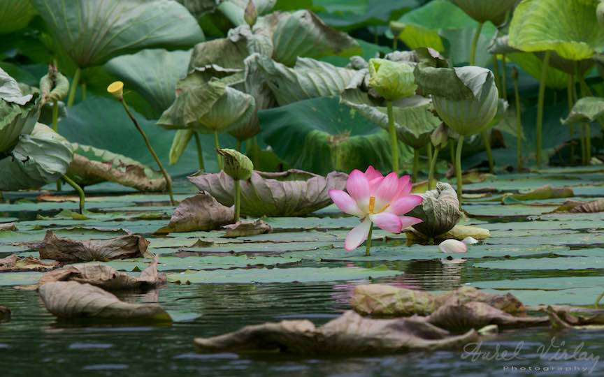 12-floarea-de-lotus-roz-Lacul-Snagov_Foto-Aurel-Virlan