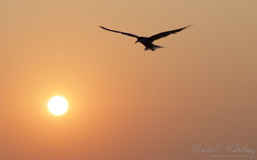 23-Vama-Veche-zborul-Pescarusului-rasarit-soare-Fotograf-Aurel-Virlan