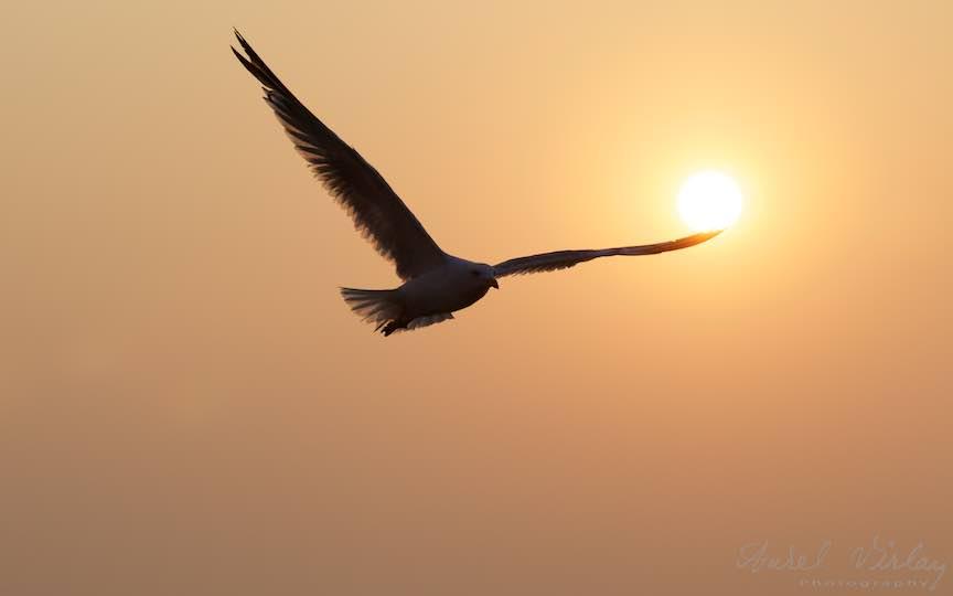 24-Vama-Veche-Aripile-intinse-ale-Pescarusului-ating-soarele-Fotograf-Aurel-Virlan