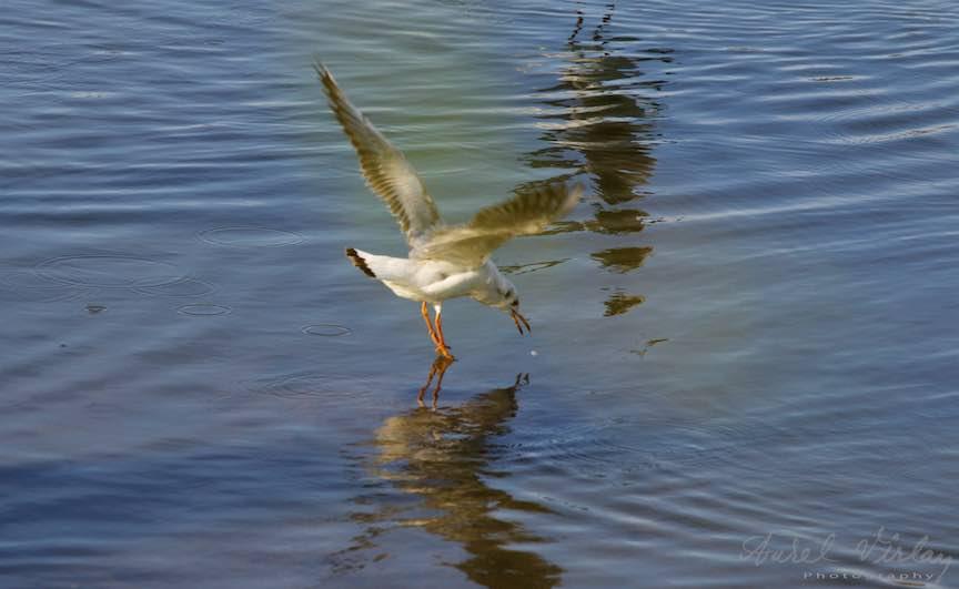 bucuresti-instantanee_foto-aurel-virlan_Pescarus in momentul ciuculirii de pe suprafata apei.